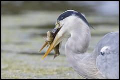 Heron eating Common Carp (Thomas Winstone) Tags: hamptonwick england unitedkingdom gb heron canon fish bird birds aves ave avian canonuk canon1dx2 canon1dxmark2