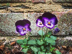 Ok You Three, Up Against The Wall! (PhotosAndyBrain) Tags: odd three iphonephotography grow pointing sand cement mortar wall bricks brickwall plants leaves green purple pansies violet violas petals mauve flowers instagramapp square squareformat iphoneography mayfair