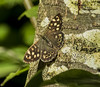 Speckled Wood (Mal.Durbin Photography) Tags: speckledwood maldurbin butterfly insects wildlife naturereserve nature newportwetlands