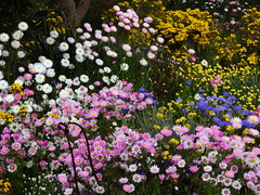 Wildflowers en masse (Lesley A Butler) Tags: australia kingspark wa wildflowers perth