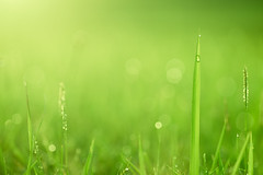Green Grass Field Glowing in the Morning (danliecheng) Tags: abstract artistic atmosphere background blades dew dewdrops dots dreamy field flowers fresh glowing grass green growth life light morning nature plant selectivefocus shining smooth soft spots tranquility warm warmup waterdrops