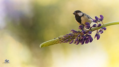 on purples (Geert Weggen) Tags: sweden geert weggen jmtland nature animal red perennial closeup cute plant funny happy summer ground spring bright light branch yellow bird tit titmouse fruit food lupine flower ragunda
