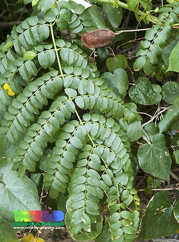 Bonduc (Caesalpinia bonduc)