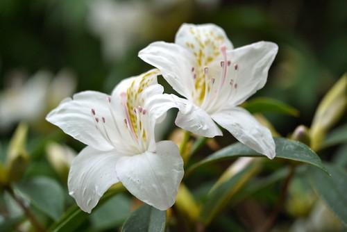 Rhododendron amamiene