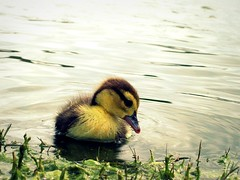 so innocent (Willow Creek Photography) Tags: park water animal duck duckling smallanimal babyduck kingstonreyphotography