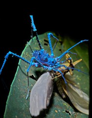 Harvestman with moth under UV (pbertner) Tags: macroextreme macrolife macrolifeelite