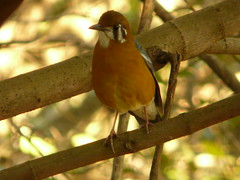 P1160117 (babsybou) Tags: travel india birds silent watching kerala du valley yatra sud inde attapadi birdswatching babsybou malleeshwaramjunglelodge pettickal