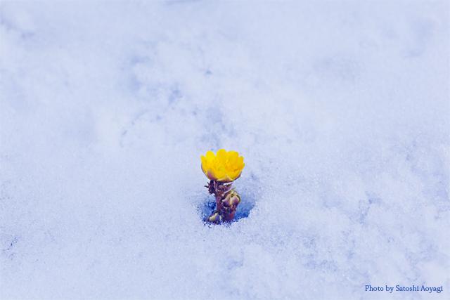 雪面の福寿草