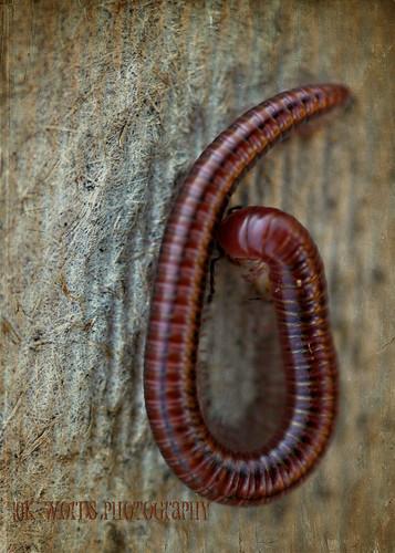 centipede wm