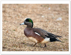 American Wigeons (Betty Vlasiu) Tags: bird nature wildlife american americana anas baldpate wigeons