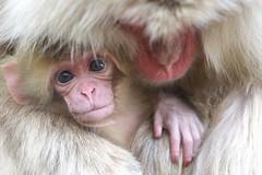 Spring (Masashi Mochida) Tags: snow japan monkey spring nagano jigokudani coth abigfave impressedbeauty natureselegantshots