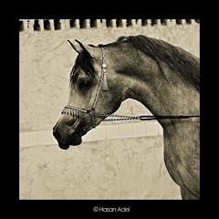 Arabian Horse III (HASAN_ADEL) Tags: original horses horse beautiful canon is saudi arabia 28 arabian 450 70200   ksa  alhasa alhassa        450d    alahsa alahssa