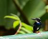 Silvery Kingfisher (Alcedo argentata) (Bram Demeulemeester - Birdguiding Philippines) Tags: kingfishers silverykingfisher philippinebirds bramdemeulemeester birdguidingphilippines philippinesbirdingtours philippineszamboanga pasonacareserve