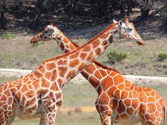 crossed giraffe (Twizted_Bunny) Tags: africa animal texas african wildlife giraffe glenrose fossilrim