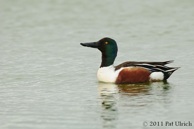 Northern shoveler motioning - Pat Ulrich Wildlife Photography