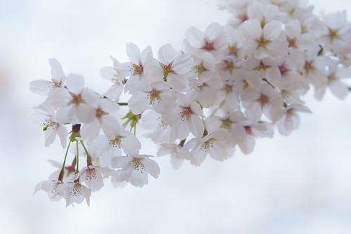 sakura fine day
