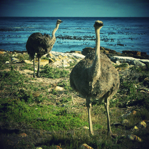 Cape of Good Hope wild ostriches