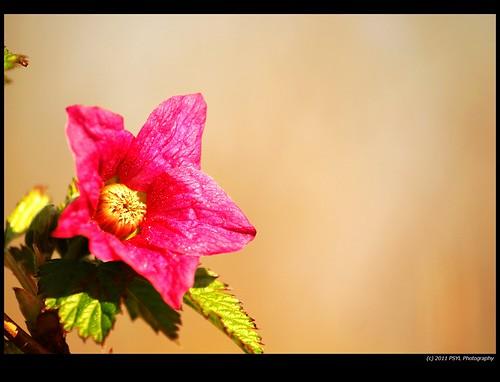Salmonberry flower (Rubus spectabilis)