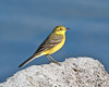 Yellow Wagtail 4 (Andrew Haynes Wildlife Images) Tags: bird nature rugby wildlife warwickshire yellowwagtail draycotewater canon7d ajh2008
