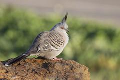 Crested Pigeon (0ystercatcher) Tags: bird australia canberra act crestedpigeon ocyphapslophotes jerrabomberrawetlands taxonomy:binomial=ocyphapslophotes taxonomy:common=crestedpigeon geo:country=australia