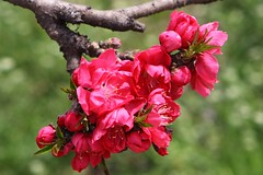 Peach Flower_Red_6 (Phyllis Photographie) Tags: flowers nature spring shanghai peachflower