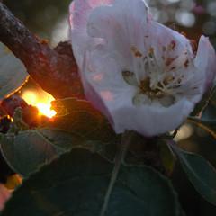 apple blossom sunset