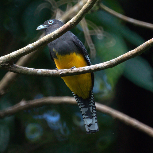 Amazonian White-tailed Trogon