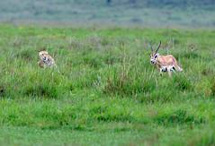 Cheetahs & Gazelle 1/5