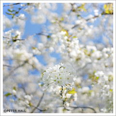 White (peterphotographic) Tags: uk england white flower tree london square spring nikon blossom britain depthoffield d200 eastlondon sigma30mmf14 springfieldpark d0f