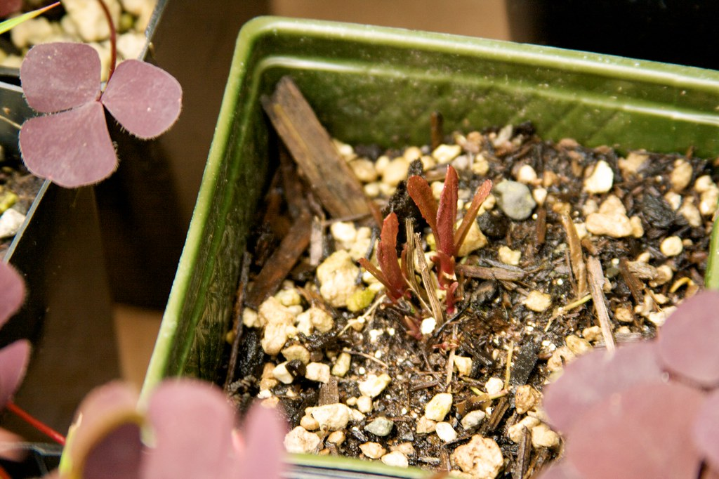 Vernonia missurica  158