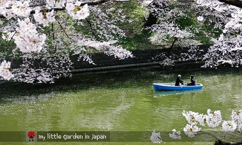 Sakura-in-Tokyo-1
