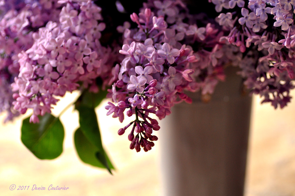 Lilac blossoms from my garden