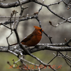 red tree bird cardinal