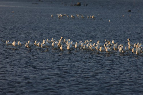 黑面琵鷺覓食一景。(圖片來源:台江國家公園網站)