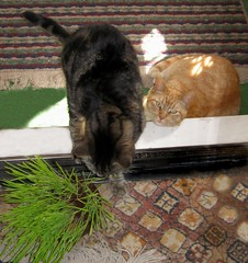 Paul, trying out the cat grass; Amber couldn't care less (Hairlover) Tags: pet cats pets public cat kitten kitty kittens kitties catgrass threeleggedcat allcatsnopeople 22yearoldcat