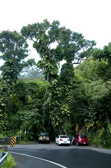 hanaroadbigtrees