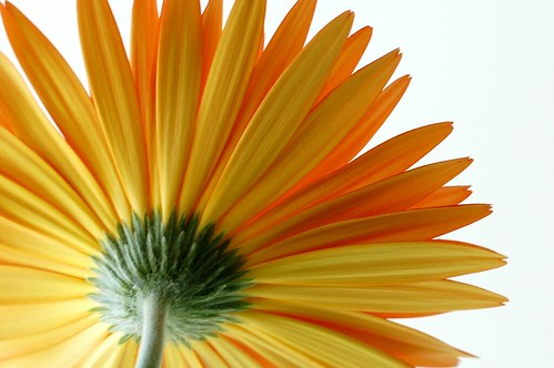 Underside of Gerber Daisy Bloom by Eve Fox, Garden of Eating blog, copyright 2011
