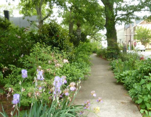 P1090884-2011-04-15-Hapeville-S-Funton-Ave-Sidewalk-Garden-Growing-Wild