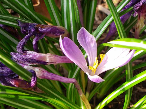 crocus at your home kitchen garden