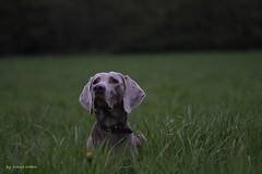 IMG_9151_c (paraleptomys) Tags: shadow dog beautiful grey ghost grau hund weimaraner finn phantom weim