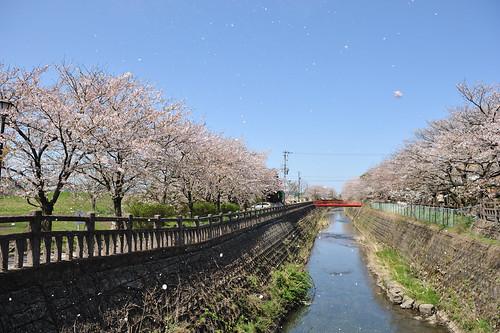 富山 布瀬公園付近の桜 桜吹雪