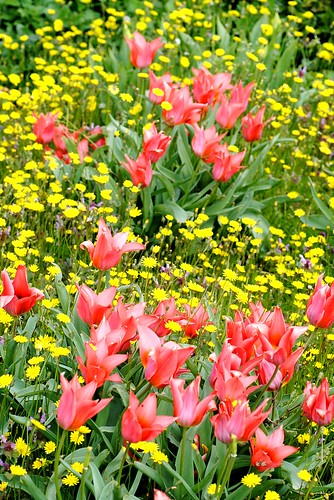 pink tulips yellow daisies