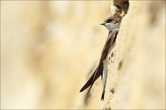 Sandmartin (Photography by Clare Scott) Tags: nature canon scott photography clare sandmartin 2011