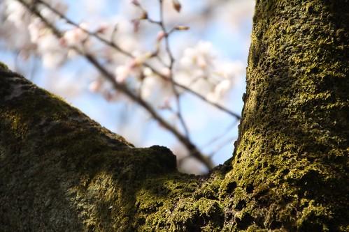 苔の樹の又から桜