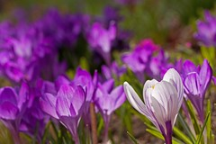 One of these things is not like the others . . . (mclcbooks) Tags: flowers white flower macro closeup bulb spring colorado purple crocus bulbs crocuses denverbotanicgardens