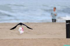 InFlightBaggage (mcshots) Tags: california usa bird beach birds trash neck coast losangeles stock flight strangle socal plasticbag crow mcshots twisted
