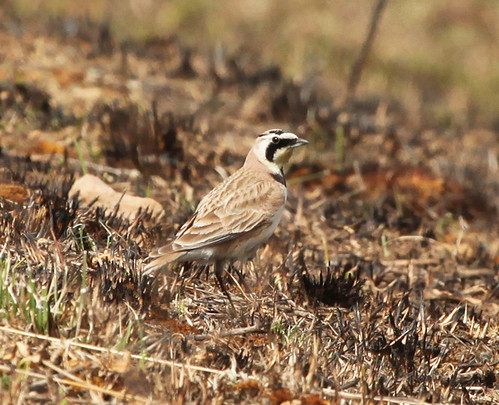 Horned Lark by JKissnHug