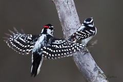 A53F0432 Downies (~ Michaela Sagatova ~) Tags: bird nature downywoodpecker picoidespubescens ave mating dundas bif birdphotography dvca michaelasagatova