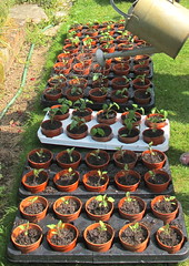 2635 watering repotted seedlings