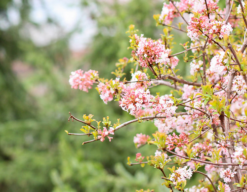 17 | 52: Pink Blossoms